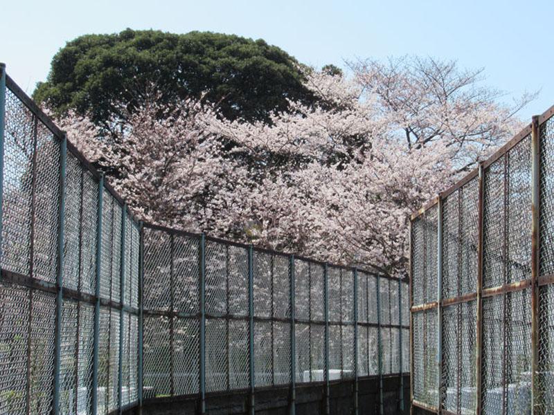 スタジオよもだ → 谷中霊園 桜